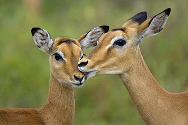 Impala (Aepycerus melampus) mother grooming fawn, Serengeti National Park, Tanzania  -  Suzi Eszterhas