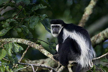 Mantled Colobus (Colobus guereza), Kibale Forest, Uganda  -  Suzi Eszterhas