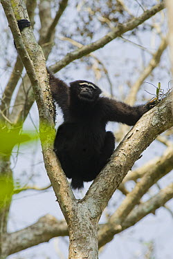 Hoolock Gibbon (Hylobates hoolock) male in tree, Gibbon Wildlife Sanctuary, Assam, India  -  Kevin Schafer