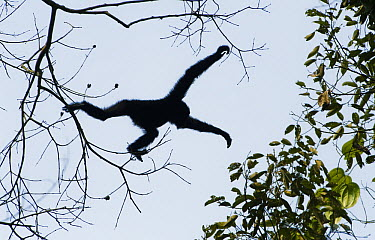Hoolock Gibbon (Hylobates hoolock) male jumping between trees, Gibbon Wildlife Sanctuary, Assam, India  -  Kevin Schafer