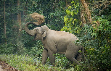 Asian Elephant (Elephas maximus) throwing sand onto its back, Gibbon Wildlife Sanctuary, Assam, India  -  Kevin Schafer