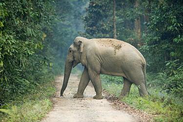 Asian Elephant (Elephas maximus) crossing road, Gibbon Wildlife Sanctuary, Assam, India  -  Kevin Schafer