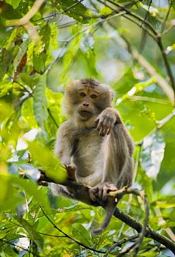 Pig-tailed Macaque (Macaca nemestrina), Gibbon Wildlife Sanctuary, Assam, India  -  Kevin Schafer