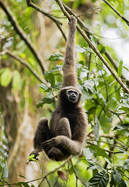 Hoolock Gibbon (Hylobates hoolock) sub-adult female, Gibbon Wildlife Sanctuary, Assam, India  -  Kevin Schafer