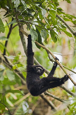 Hoolock Gibbon (Hylobates hoolock) sub-adult male, Gibbon Wildlife Sanctuary, Assam, India  -  Kevin Schafer