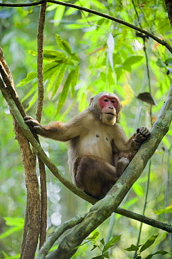 Stump-tailed Macaque (Macaca arctoides), Gibbon Wildlife Sanctuary, Assam, India  -  Kevin Schafer