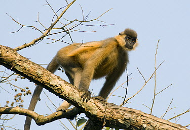 Capped Langur (Trachypithecus pileatus) in tree, Gibbon Wildlife Sanctuary, Assam, India  -  Kevin Schafer