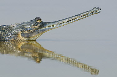 Gharial (Gavialis gangeticus), National Chambal Sanctuary, Madhya Pradesh, India  -  Kevin Schafer