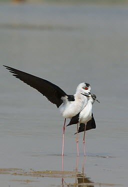 Black-winged Stilt (Himantopus himantopus) pair courting, Chambal River, Madhya Pradesh, India  -  Kevin Schafer