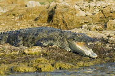 Mugger Crocodile (Crocodylus palustris) on shore, National Chambal Sanctuary, Madhya Pradesh, India  -  Kevin Schafer