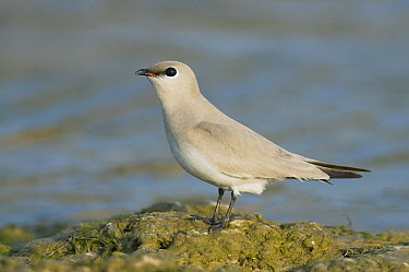 Small Pratincole (Glareola lactea), National Chambal Sanctuary, Madhya Pradesh, India  -  Kevin Schafer