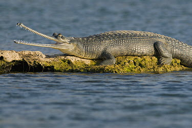 Gharial (Gavialis gangeticus) thermoregulating, National Chambal Sanctuary, Madhya Pradesh, India  -  Kevin Schafer