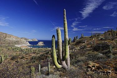 Cardon (Pachycereus pringlei) cactus, Santa Catalina Island, Sea of Cortez, Mexico  -  Hiroya Minakuchi