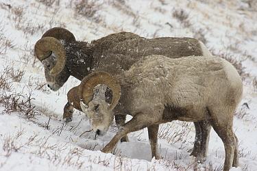 Bighorn Sheep (Ovis canadensis) rams digging through snow to feed, Glacier National Park, Montana  -  Sumio Harada