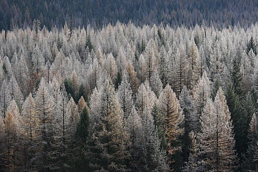 Western Larch (Larix occidentalis) forest with snow dusting, Glacier National Park, Montana  -  Sumio Harada