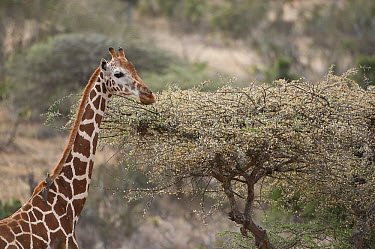 Reticulated Giraffe (Giraffa reticulata) browsing on acacia in bloom, Loisaba Wilderness, Kenya  -  Tui De Roy