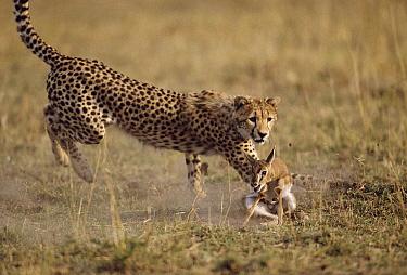 Cheetah (Acinonyx jubatus) chasing baby Thomson's Gazelle (Eudorcas thomsonii), Masai Mara National Reserve, Kenya  -  Ferrero-Labat/ Auscape