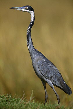 Black-headed Heron (Ardea melanocephala), east Africa  -  Ferrero-Labat/ Auscape