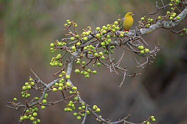 African Green-Pigeon (Treron calvus) showing scarlet feet on fruit-laden tree, Kenya  -  Ferrero-Labat/ Auscape