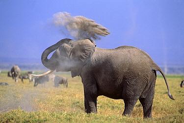 African Elephant (Loxodonta africana) dust-bathing, Amboseli National Park, Kenya  -  Ferrero-Labat/ Auscape