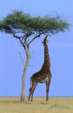 Masai Giraffe (Giraffa tippelskirchi) reaching up to feed on acacia tree, Masai Mara, Kenya  -  Ferrero-Labat/ Auscape