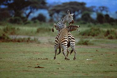 Burchell's Zebra (Equus burchellii) males fighting, Kenya  -  Ferrero-Labat/ Auscape