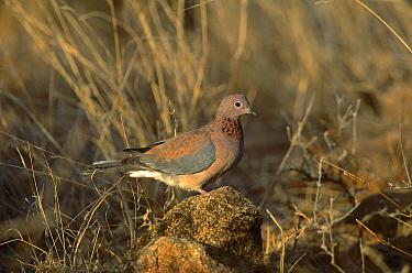 Laughing Dove (Spilopelia senegalensis), Africa  -  Ferrero-Labat/ Auscape