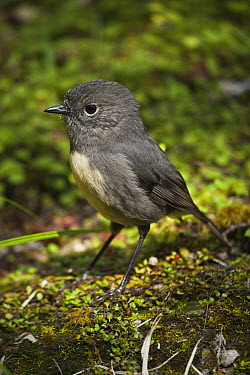 New Zealand Robin (Petroica australis), Inland Pack Track, Paparoa National Park, New Zealand  -  Colin Monteath/ Hedgehog House