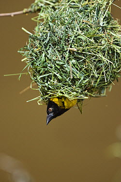 Village Weaver (Ploceus cucullatus) male looking out of his nest, east Africa  -  Konrad Wothe