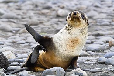 Antarctic Fur Seal (Arctocephalus gazella) pup scratching itself, Salisbury Plains, South Georgia Island  -  Konrad Wothe
