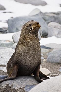 Antarctic Fur Seal (Arctocephalus gazella), Half Moon Island, Antarctica  -  Konrad Wothe