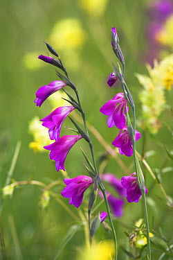 Gladiolus (Gladiolus palustris) flowers, Upper Bavaria, Germany  -  Konrad Wothe