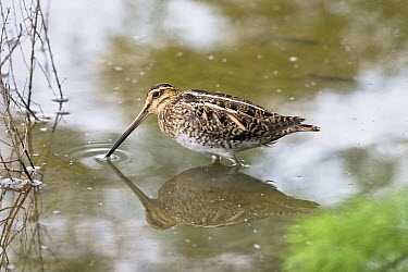 Common Snipe (Gallinago gallinago) foraging, Mallorca, Spain  -  Konrad Wothe
