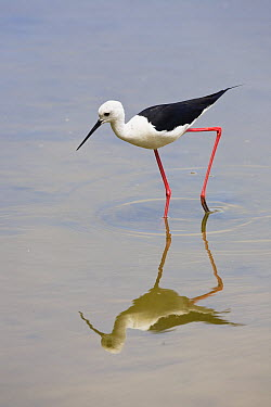 Black-winged Stilt (Himantopus himantopus) foraging, Mallorca, Balearic Islands, Spain  -  Konrad Wothe