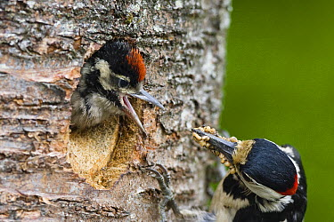 Great Spotted Woodpecker (Dendrocopos major) male feeding young, Bavaria, Germany  -  Konrad Wothe