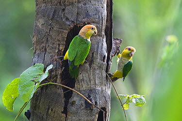 White-bellied Parrot (Pionites leucogaster) pair in rainforest, Tambopata National Reserve, Peru  -  Konrad Wothe