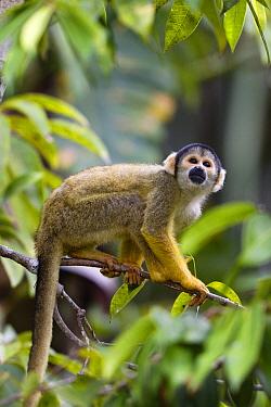 Bolivian Squirrel Monkey (Saimiri boliviensis) in rainforest, Tambopata National Reserve, Peru  -  Konrad Wothe