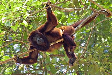 Red Howler Monkey (Alouatta seniculus) in rainforest, Tambopata National Reserve, Peru  -  Konrad Wothe