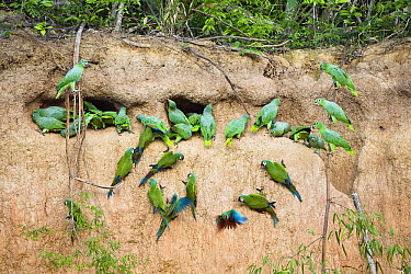 Mealy Parrot (Amazona farinosa) and Chestnut-fronted Macaw (Ara severa) flock at clay lick, Tambopata National Reserve, Peru  -  Konrad Wothe