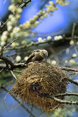 Grey-headed Social-Weaver (Pseudonigrita arnaudi) at nest, Serengeti National Park, Tanzania  -  Konrad Wothe