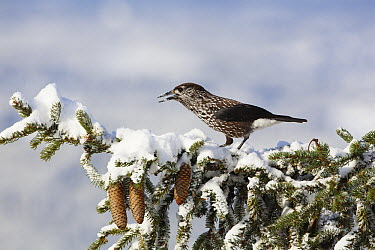 Spotted Nutcracker (Nucifraga caryocatactes) on spruce in winter, Bavaria, Germany  -  Konrad Wothe