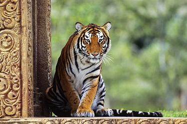 Bengal Tiger (Panthera tigris tigris), native to India  -  Konrad Wothe