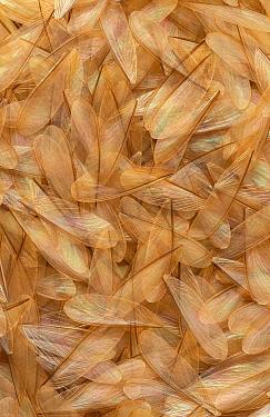 Termite dropped wings after swarming, Bandiagara, Sahel Desert, Mali  -  Ingo Arndt