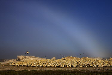 Cape Gannet (Morus capensis) colony with fog bow, Lambert's Bay, South Africa  -  Ingo Arndt