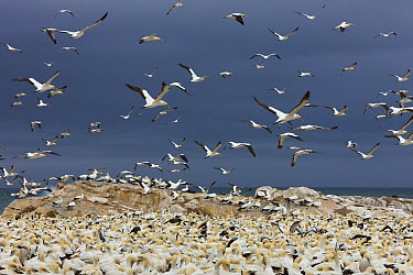 Cape Gannet (Morus capensis) colony, Lambert's Bay, South Africa  -  Ingo Arndt