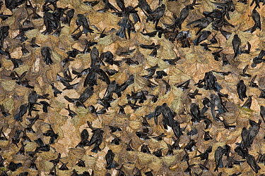 Cave Swiftlet (Collocalia linchi) breeding colony in cave, Christmas Island, Indian Ocean, Territory of Australia  -  Ingo Arndt