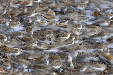 Semipalmated Sandpiper (Calidris pusilla) and Red Knot (Calidris canutus) flock, Delaware Bay, Delaware  -  Ingo Arndt