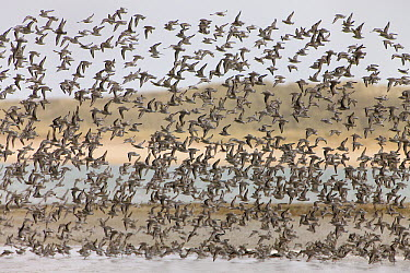Red Knot (Calidris canutus) flock during migration, Sylt Island, Germany  -  Ingo Arndt