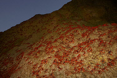 Christmas Island Red Crab (Gecarcoidea natalis) mass during night of spawning, Christmas Island, Indian Ocean, Territory of Australia  -  Ingo Arndt