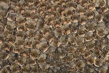 Schreibers' Long-fingered Bat (Miniopterus schreibersii) group overwintering, Sardinia, Italy  -  Ingo Arndt